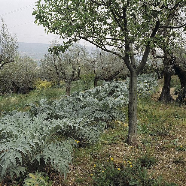 Cardoon Plants And Olive Trees In Italian Country Garden Spring